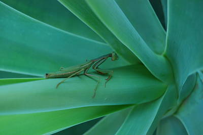 Agave Praying Mantis Art Print