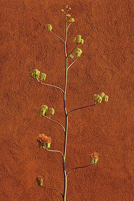 Photograph - Agave Suede by Tom Daniel