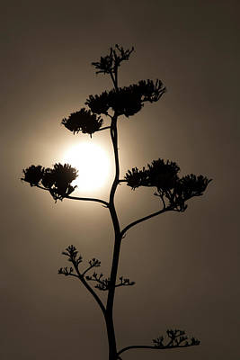 Photograph - Agave Whisper by Sue Cullumber