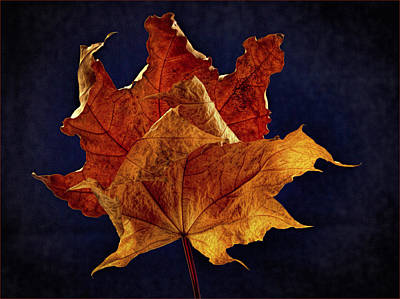 Photograph - Aged Maple Duo by Jean Noren