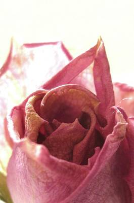 Photograph - Aged Rose by Mary Ellen Frazee