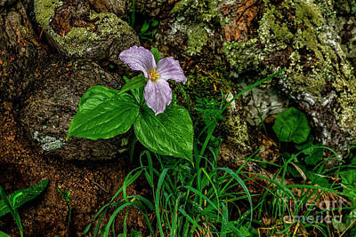 Photograph -  Aged White Trillium With Raindrops by Thomas R Fletcher