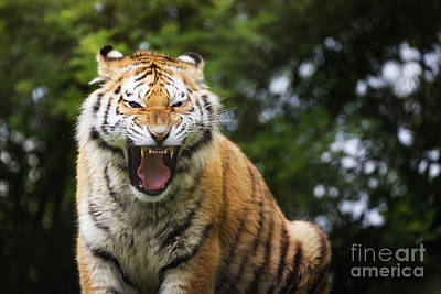 Of Tigers Photograph - Aggressive Siberian Tiger by Jane Rix