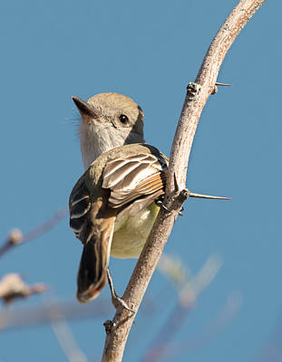 Photograph - Agile Flycatcher by Loree Johnson