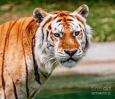 Photograph - Aging Tiger by Ray Shiu