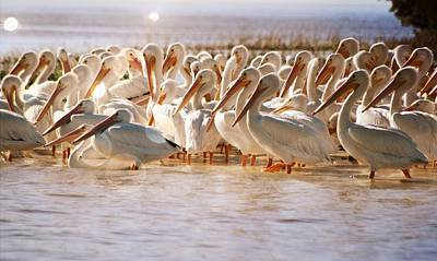 Photograph - Aglow White Pelicans by Sheri McLeroy