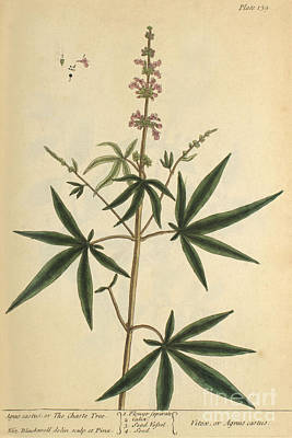 Agnus Photograph - Agnus Castus, Medicinal Plant, 1737 by Science Source