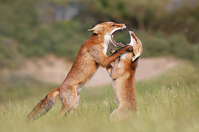 Bitch Wall Art - Photograph - Agreeing To Disagree - Fox Fight by Roeselien Raimond