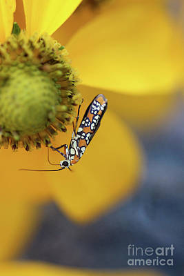 Photograph - Ailanthus Webworm Moth #2 by Karen Adams