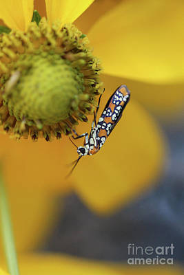 Photograph - Ailanthus Webworm Moth #3 by Karen Adams