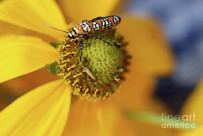 Photograph - Ailanthus Webworm Moth #5 by Karen Adams