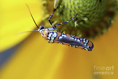 Photograph - Ailanthus Webworm Moth by Karen Adams
