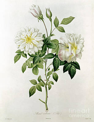 White Flowers Painting - Aime Vibere by Pierre Joseph Redoute