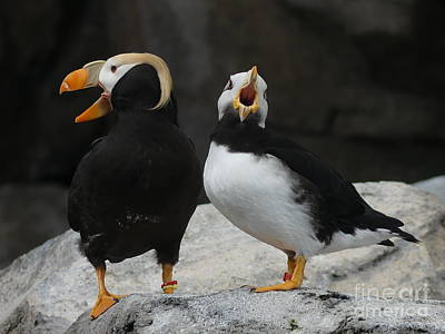 Photograph - Aint No Joke You Gotta Quit Puffin by Brian Boyle