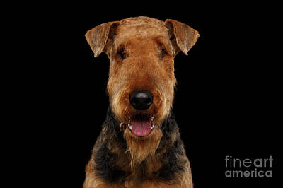 Photograph - Airedale On Black by Sergey Taran
