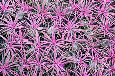 Bromeliad Photograph - Airplants by Tim Gainey