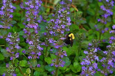 Photograph - Ajuga And Bumblebee by Kathryn Meyer