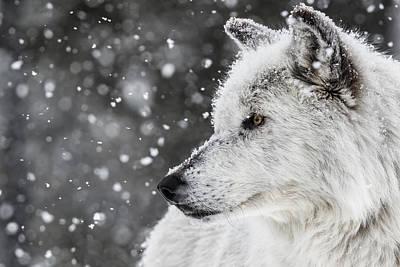 Akela The Wolf Art Print