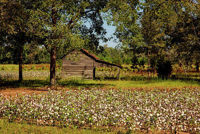 Alabama Cotton Field Art Print by L O C