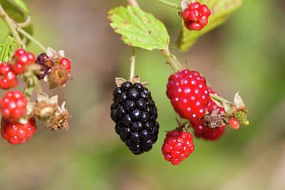 Photograph - Alabama Wild Blackberries by Kathy Clark