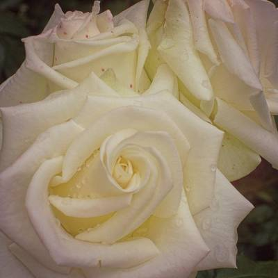 Alabaster Roses Art Print by JAMART Photography