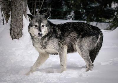 Photograph - Alarmed Wolf by Athena Mckinzie