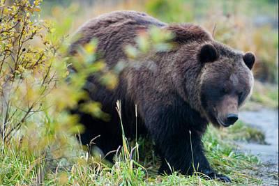 Michael Barry Photograph - Alaska Brown Bear by Michael Barry