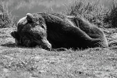 Photograph - Alaska Grizzly - Do Not Disturb Grayscale by Jennifer White