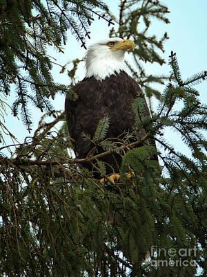 Photograph - Alaskan Bald Eagle by Loriannah Hespe