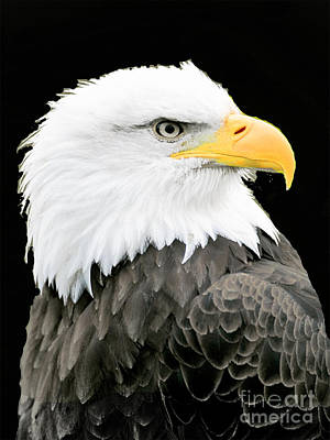 Photograph - Alaskan Bald Eagle by Merton Allen