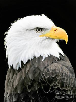 Photograph - Alaskan Bald Eagle by Merton Allen