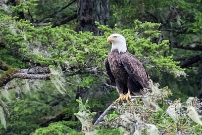 Photograph - Alaskan Bald Eagle by Phil Stone