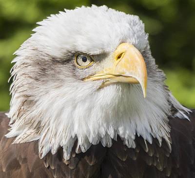 Photograph - Alaskan Bald Eagle by Steven Poulton