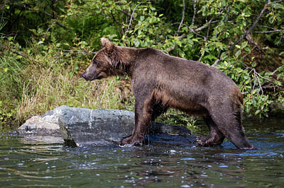 Photograph - Alaskan Brown Bear Climbing by Gloria Anderson