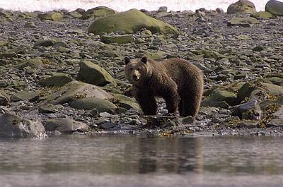 Alaskan Brown Bear Dining On Mollusks Art Print