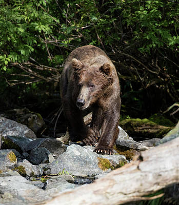 Photograph - Alaskan Brown Bear by Gloria Anderson