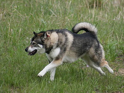 Photograph - Alaskan Malamute 1 by David Dunham