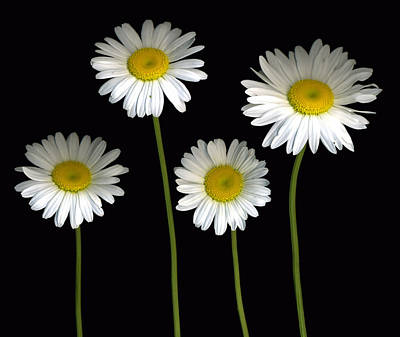 Scanography Photograph - Alaskan Shasta Daisies by Deborah J Humphries
