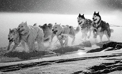 Photograph - Alaskan Sled Dogs by Daniel Hagerman