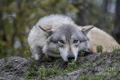 Photograph - Alaskan Timber Wolf by Eva Lechner