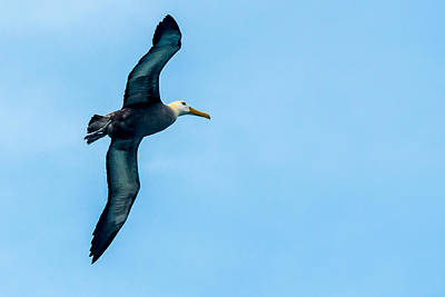 Photograph - Albatross In Flight by Harry Strharsky