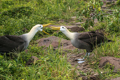 Photograph - Albatross Mating Dance by Harry Strharsky