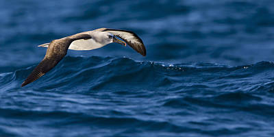Albatross Of The Deep Blue Art Print by Basie Van Zyl
