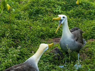 Photograph - Albatross Scold by Harry Strharsky