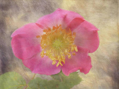 Alberta Rose - 365-143 Art Print by Inge Riis McDonald