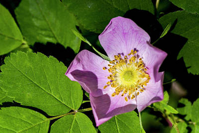 Print featuring the photograph Alberta Wild Rose Opens For Early Sun by Darcy Michaelchuk