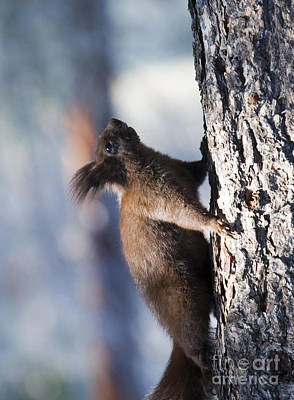 Steven Krull Royalty-Free and Rights-Managed Images - Alberts Squirrel by Steven Krull
