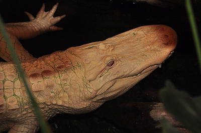 Photograph - Albino Alligator by Puzzles Shum