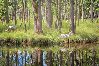 Photograph - Albino Deer by Susan Rissi Tregoning