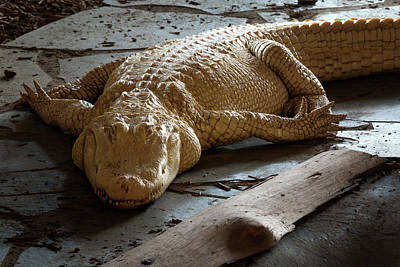 Photograph - Albino Gator by Travis Rogers